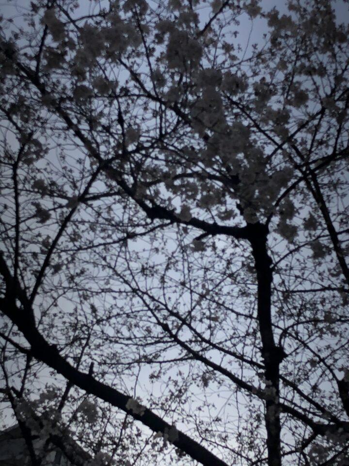 桜 五分咲き 画像