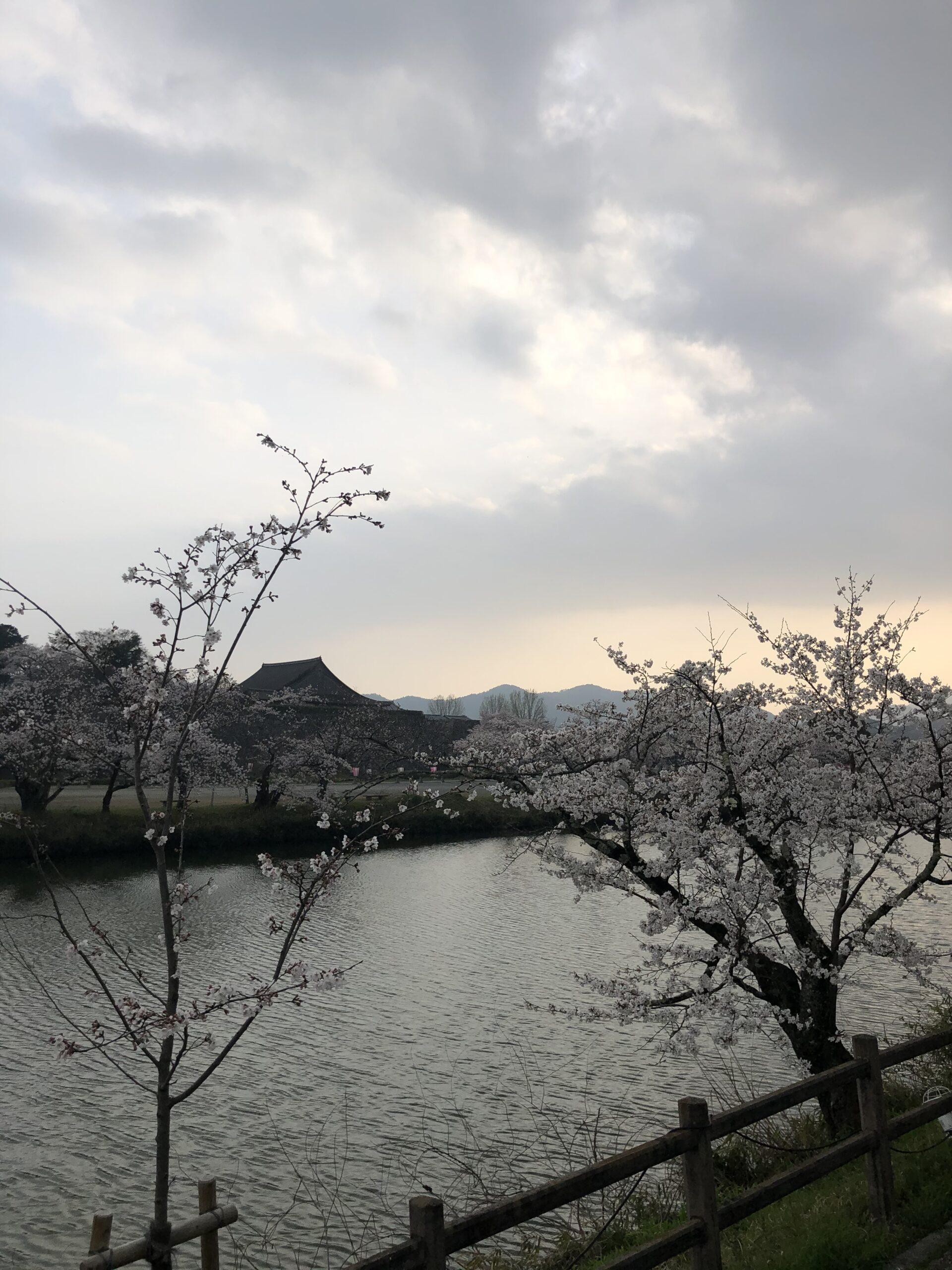 篠山城跡 大書院 桜 満開間近 画像