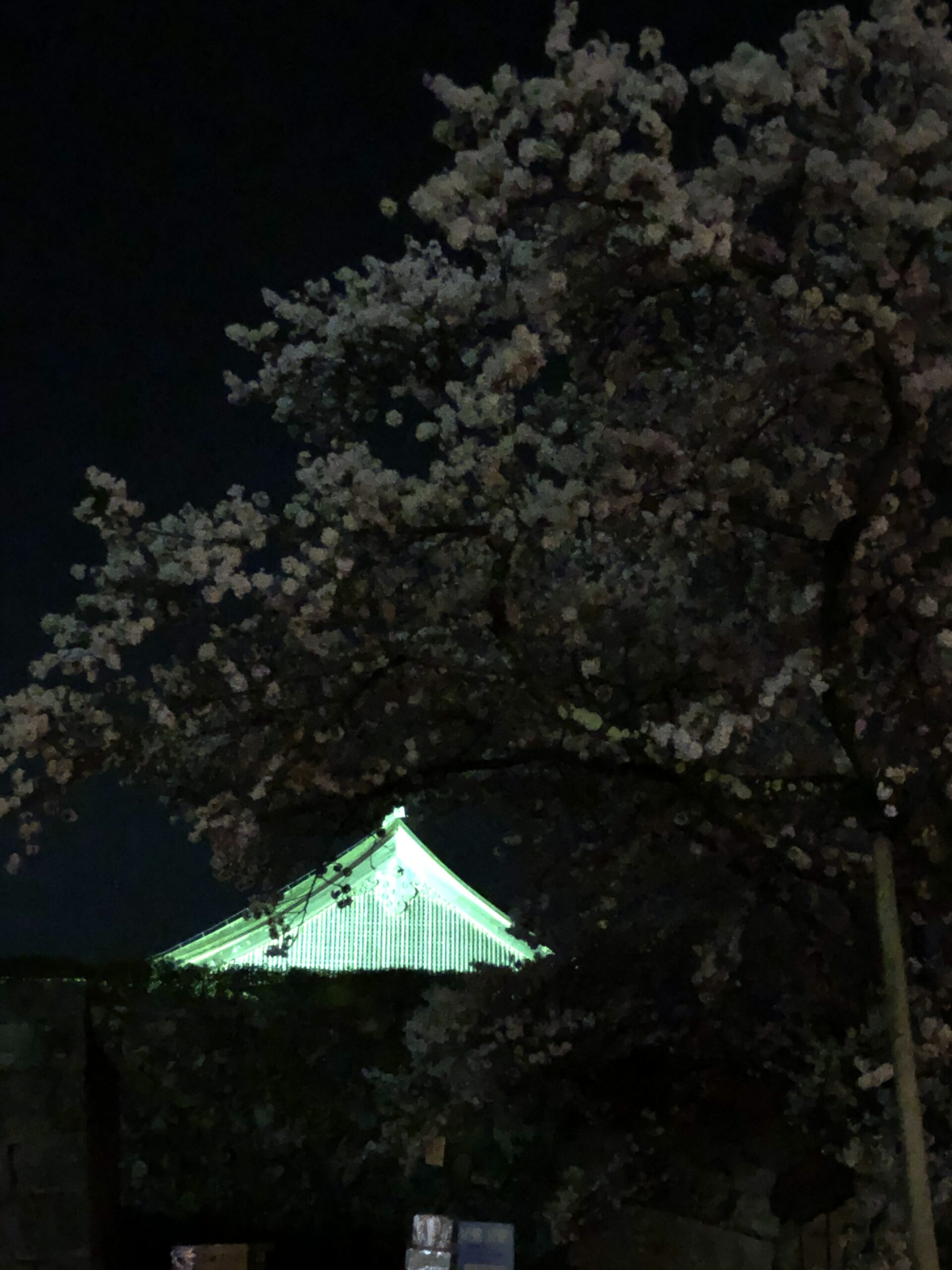 丹波篠山 夜桜 画像
