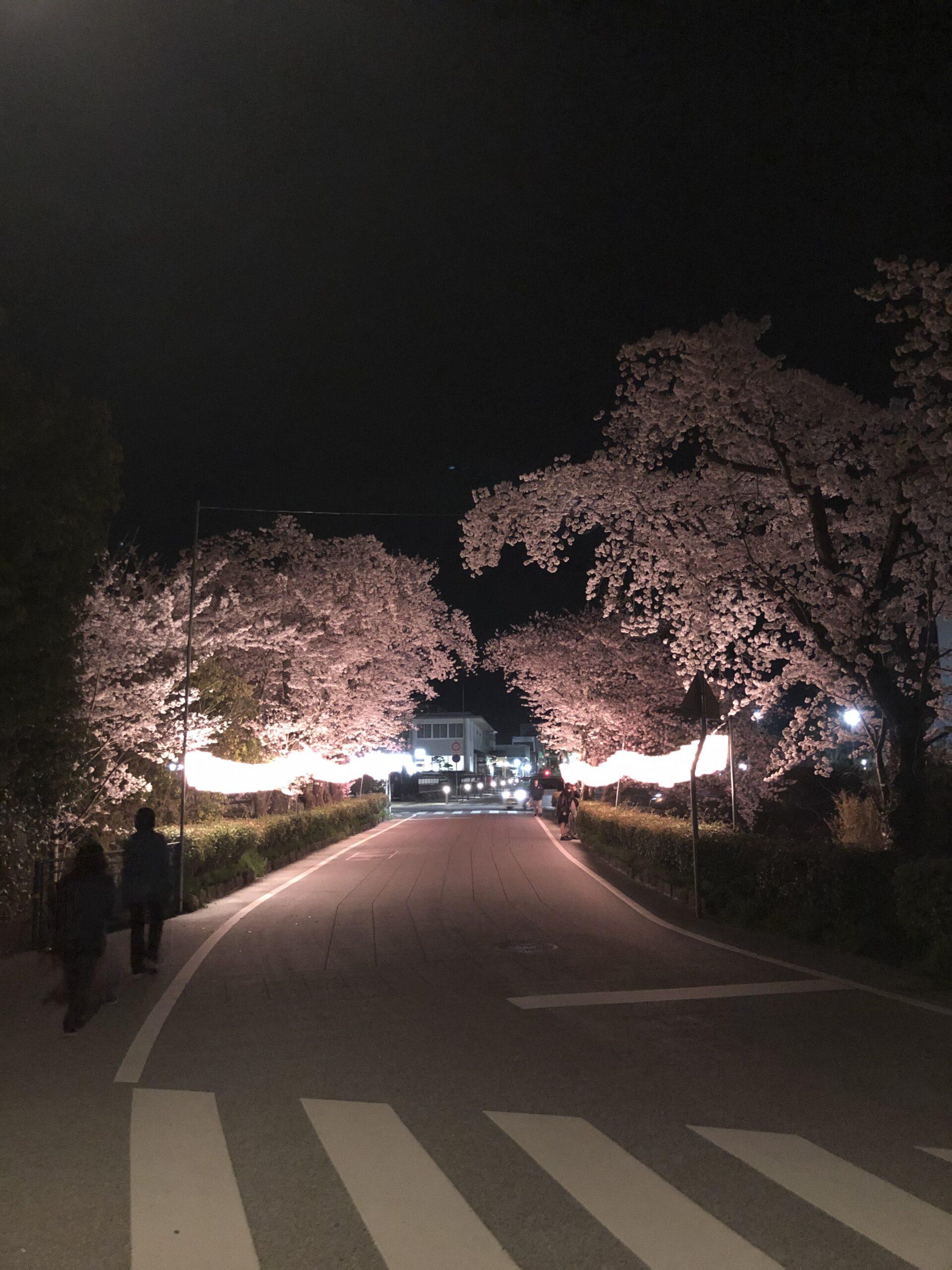 丹波篠山市 夜桜 画像