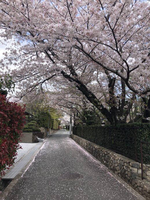 桜 満開 画像